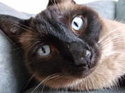 Youthful Photo Originals - Blue Siamese Eyes by Brian  Maloney