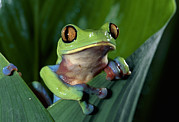 Blue-sided Leaf Frog Agalychnis Annae Print by Michael & Patricia Fogden