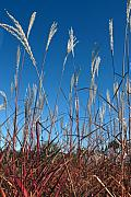 Feathery Framed Prints - Blue Skies and Grasses Framed Print by Barbara  White