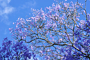 Flowers Against The Sky Framed Prints - Blue Sky and Jacaranda Blossoms Framed Print by Kaye Menner