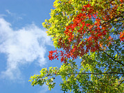Autumn Prints Prints - Blue Sky art prints Colorful Oak Leaves Print by Baslee Troutman Art Prints Photography