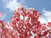 Flower Photographs Prints - Blue Sky Clouds Landscape 7 Pink Dogwood Tree Baslee Troutman Print by Baslee Troutman Fine Art Collections