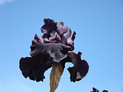 Flora Photography Prints Posters - Blue Sky Floral art prints Purple Iris Flowers Poster by Baslee Troutman Art Prints Photography