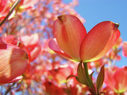 Flower Photographs Prints - Blue Sky Pink Azalea Dogwood Flowers 4 Landscape Nature Artwork Print by Baslee Troutman Fine Art Collections