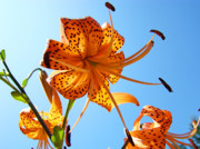 Tiger Lilies Framed Prints - BLUE SKY Tiger Lily Floral Garden Art Prints Baslee Troutman Framed Print by Baslee Troutman Art Print Collections