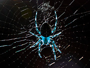 Webs Posters - Blue Spider Poster by Wingsdomain Art and Photography