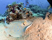 Blue-spotted Stingray Print by Photostock-israel