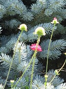 Fort Collins Metal Prints - Blue Spruce and a Wish Metal Print by Shawn Hughes
