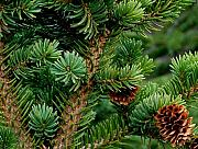 Conifer Tree Prints - Blue Spruce Print by Marilynne Bull