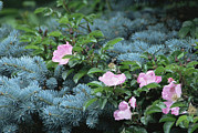 Tree Roses Photos - Blue Spruce (picea Pungens) by Archie Young