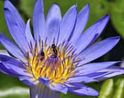 Pamplemousses Botanical Garden Posters - Blue Star Water Lily Poster by JH Photo Service
