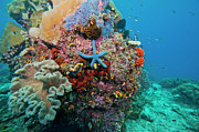 Raja Ampat Photos - Blue Starfish On Coral Reef, Raja by Beverly Factor