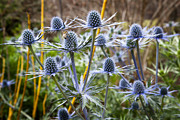 Flower Gardens Framed Prints - Blue Stem Sea Holly Framed Print by Kelley King