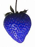 Red Fruit Photos - Blue Strawberry by Tim Booth