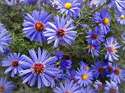 Blue Flowers Photos - Blue Street Daisies by Daniel Hagerman