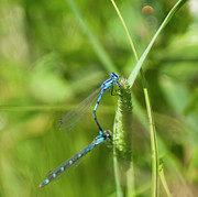 Dragonflies Mating Photos - Blue Tailed Damsel flies by Daniel Hebard
