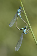 Two Tailed Photo Metal Prints - Blue-tailed Damselfly Metal Print by Adrian Bicker