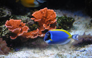 Blue Tang Fish Prints - Blue Tang fish and Coral Print by DiDi Higginbotham