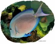 Blue Tang Fish Prints - Blue Tang Print by Larry Linton