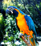 Blue And Gold Macaw Posters - Blue throated  Macaw 2 Poster by DiDi Higginbotham