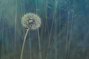 Dandelions Photos - Blue Tinted by Priska Wettstein