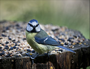 Andy Stuart - Blue Tit