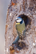 Flocks Of Birds Prints - Blue Tit leaving nest Print by Cliff  Norton