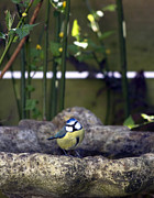 Season Art - Blue tit on bird bath by Jane Rix