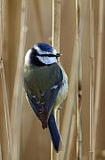 Titmouse Photo Originals - Blue Tit on Reed by Bob Kemp