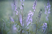 Pink Rose Photos - Blue Vervain by Priska Wettstein