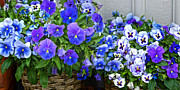 Blue Flowers Photos - Blue Viola by Lutz Baar
