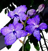 Orchids Prints - Blue Violet Orchids Print by Mindy Newman