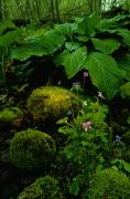 Woodland Violet Photos - Blue Violets, Mosses, And Skunk Cabbage by Raymond Gehman