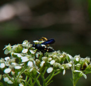 Arkansas Photo Prints - Blue Wasp 1 Print by Douglas Barnett
