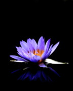 "\""blue Flowers\\\"" Photos - Blue Water Lily . 7D5714 by Wingsdomain Art and Photography"