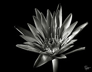 Flower Photos Posters - Blue Water Lily in Black and White Poster by Endre Balogh