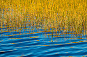 Water Reflections Framed Prints - Blue Waters Golden Grass Framed Print by Rich Franco