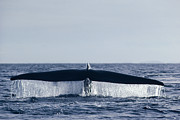 Mar2713 Art - Blue Whale Tail  In Sea Of Cortez Mexico by Flip Nicklin