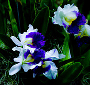 Cattleya Posters - Blue white cattleya Poster by Chua  ChinLeng