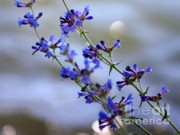 Blue Flowers Posters - Blue Wildflowers over Rimrock Lake Poster by Carol Groenen