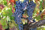 Blue Grapes Framed Prints - Blue wine Framed Print by Gail Salituri