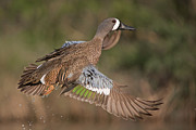 Hector D Astorga - Blue Winged Teal in...