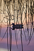 Bird Photographs Photos - Blue-Winged Teal on Colored Water by Rob Travis