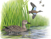 Habitat Drawings Posters - Blue-winged Teal pairs Poster by Kalen Malueg