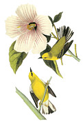 Warbler Paintings - Blue-winged Warbler by John James Audubon