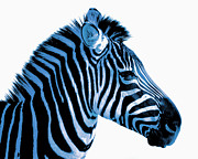 Decor Photography Prints - Blue zebra art Print by Rebecca Margraf