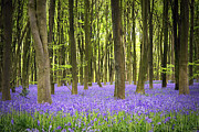 Woodland Photo Posters - Bluebell carpet Poster by Jane Rix