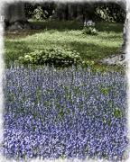 Chris Lord - Bluebell Dell