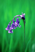 Hyacinthoides Non-scripta Posters - Bluebell (hyacinthoides Non-scripta) Poster by Georgette Douwma