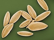 Hyacinthoides Non-scripta Posters - Bluebell Pollen Grains, Sem Poster by Peter Bond, Em Centre, University Of Plymouth